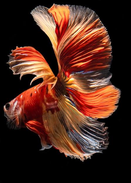 Full color halfmoon simaese fighting fish Premium Photo