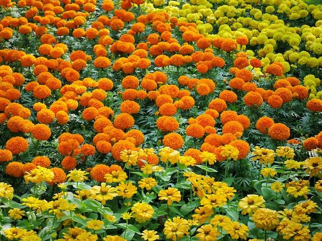 Full frame background of vibrant marigold flowers field Premium Photo