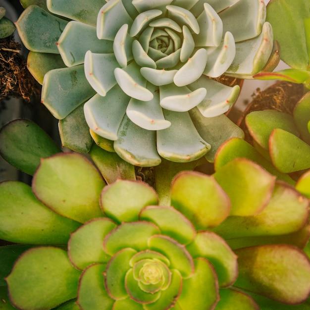 Full frame of echeveria and aeonium succulent plant Free Photo