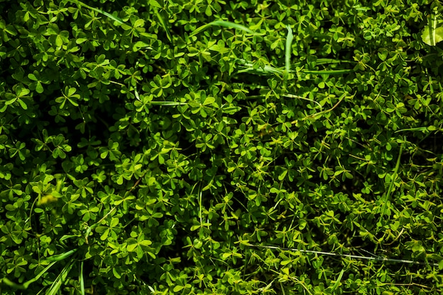 Full frame of green bermuda buttercup leaves Free Photo