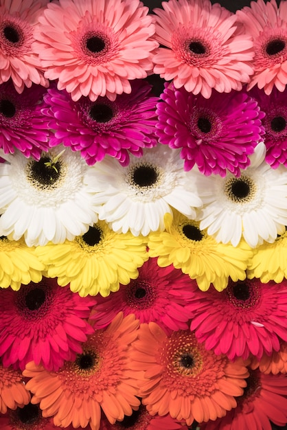 Full frame of pink; white; yellow and an orange gerbera flowers backdrop Free Photo