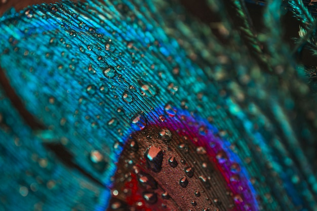 Full frame of water droplets on colorful peacock plume Free Photo