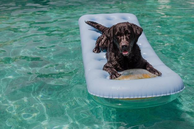 インフレータブルパッドの上に横たわると、スイミングプールでリラックスした面白い黒ラブラドール。休日、リラックス、犬の概念との休暇 Premium写真