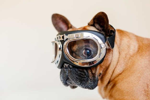 Funny brown french bull dog on bed wearing aviator goggles. travel concept. pets indoors and lifestyle Premium Photo