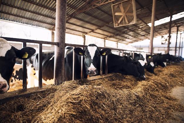 Mucca curiosa divertente che esamina la macchina fotografica mentre altre mucche mangiano fieno nella priorità bassa all'allevamento di bestiame Foto Gratuite