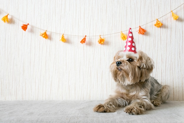 Funny Cute Yorkshire Terrier Yorkie Dog In Red Party Hat Cap Photo