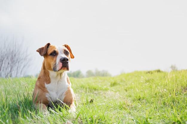 Смешная собака на поле весной. Premium Фотографии