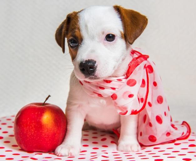 水玉模様のシルクスカーフと面白い女性のジャックラッセルテリア犬の子犬は赤いリンゴです。 Premium写真