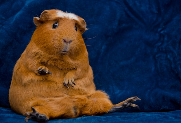 Funny Guinea Pig Sitting In A Funny Pose On The Dark Blue