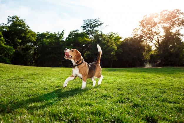 재미있는 행복 한 비글 개 걷고, 공원에서 재생. 무료 사진