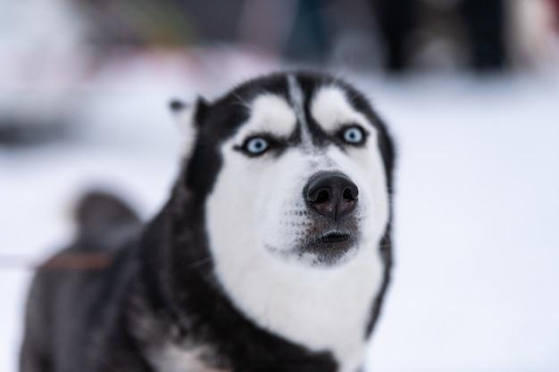 Funny husky dog portrait, winter snowy . kind obedient pet on walking before sled dog training. beautiful blue eyes. Premium Photo
