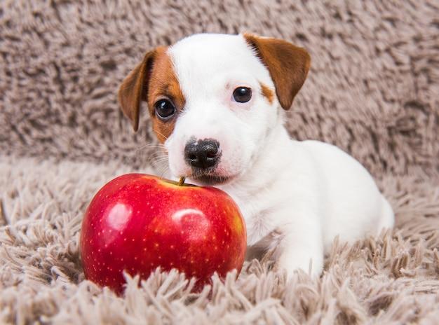 面白いジャックラッセルテリア犬の子犬は赤いリンゴと嘘をついています。 Premium写真