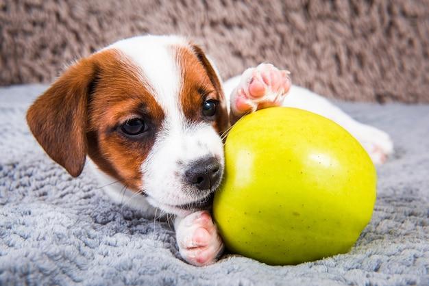 面白いジャックラッセルテリア犬の子犬は黄色いリンゴと嘘をついています。 Premium写真
