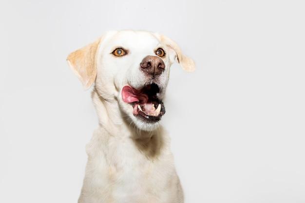 舌を出して鼻をなめる面白いラブラドールレトリバー。灰色の背景に分離されました。 Premium写真