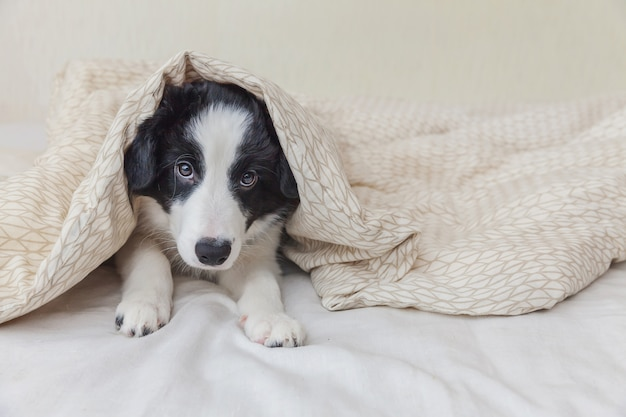 Funny portrait of cute smilling puppy dog border collie lay on pillow blanket in bed at home Premium Photo