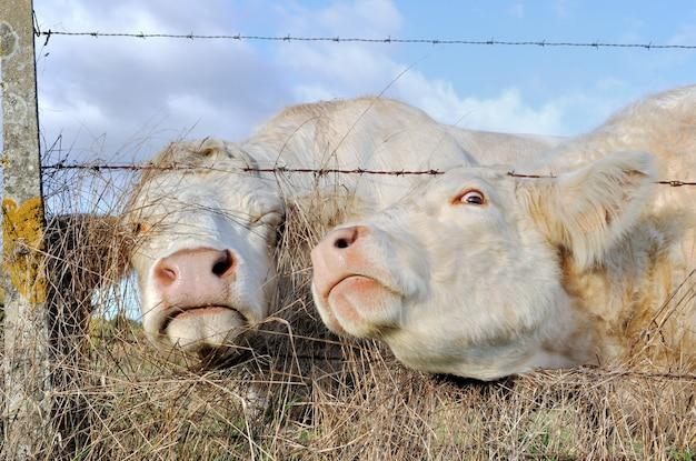 Funny portraits of cows Premium Photo