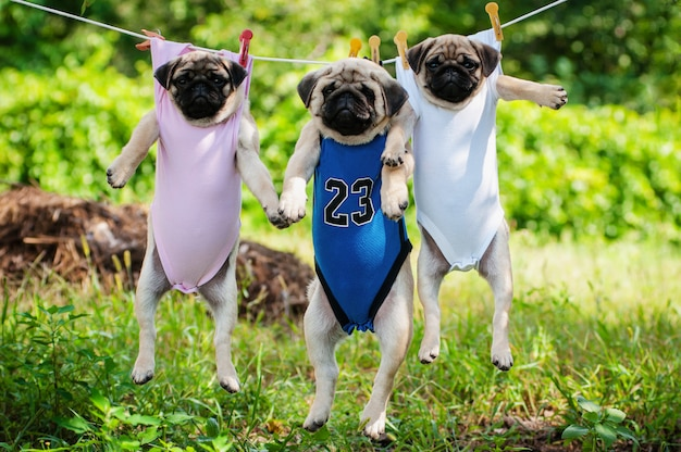 Funny pug puppies weigh in a clothesline Premium Photo