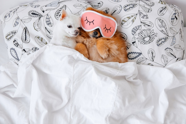 Funny puppies lying under blanket in bed. Premium Photo