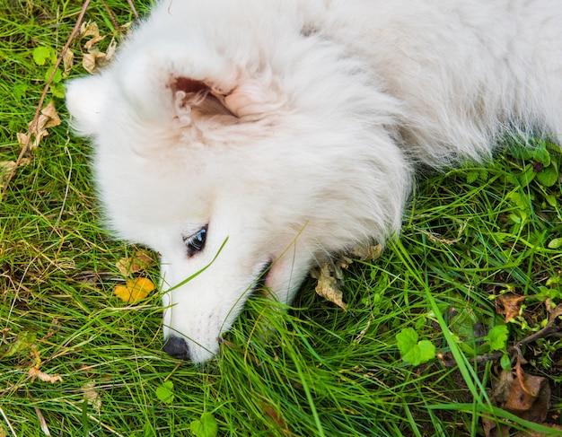 Забавный щенок самоеда, вид сверху в саду на зеленой траве Premium Фотографии