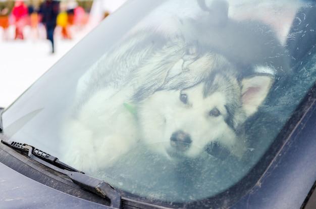 Funny siberian husky dog behind the dirty windshield of car. Premium Photo