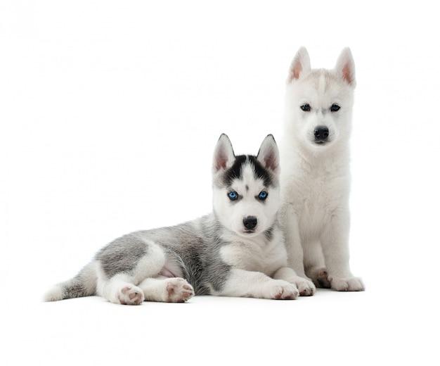 Забавные щенки сибирской хаски позируют. две милые собаки, похожие на волка, с серо-белым окрасом меха и голубыми глазами. изолят. Бесплатные Фотографии