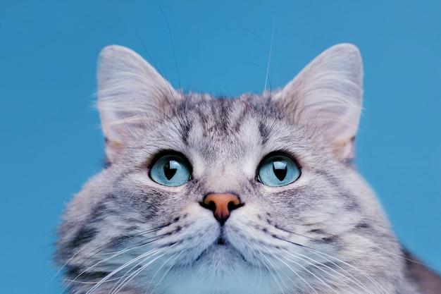 파란 눈을 가진 재미 있은 미소 회색 줄무늬 귀여운 고양이. 프리미엄 사진