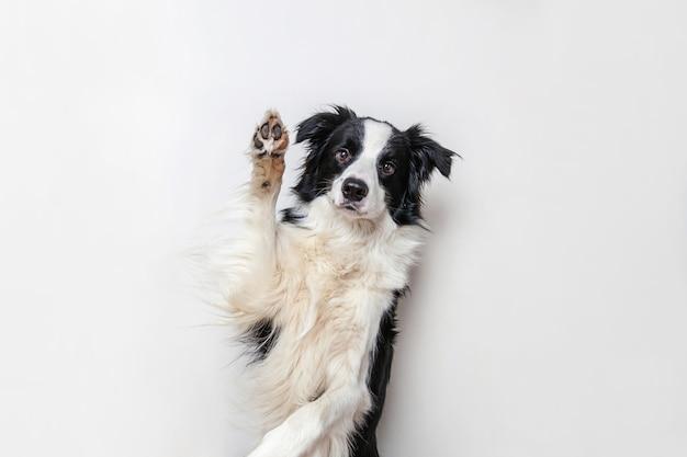 白い背景で隔離かわいい笑顔の子犬犬ボーダーコリーの面白いスタジオの肖像画。家族の小さな犬の新しい素敵なメンバーが見つめ、報酬を待っています。面白いペット動物の生活の概念。 Premium写真