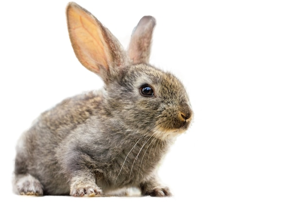 分離された毛皮のようなかわいいウサギ 無料写真