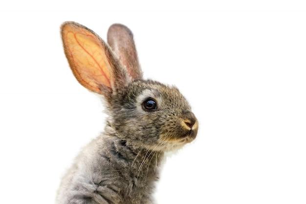 分離された白の毛皮で覆われたかわいいウサギ Premium写真