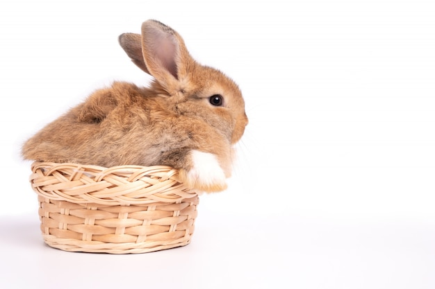 Furry and fluffy cute red brown rabbit erect ears are sitting in basket Premium Photo
