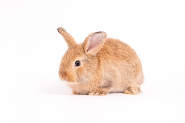 Furry and fluffy cute red brown rabbit erect ears are sitting Premium Photo