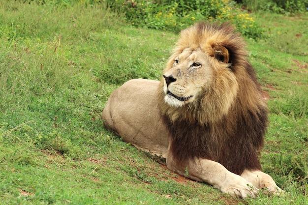 昼間にアッドエレファント国立公園を歩く毛皮で覆われたライオン 無料写真