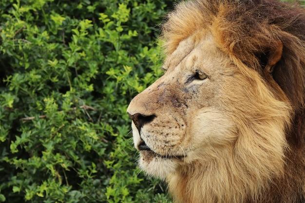 昼間に国立公園で毛皮で覆われたライオンウォーキング 無料写真