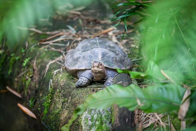 Galapagos giant land turtle Premium Photo