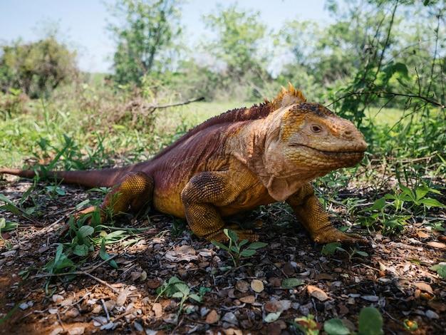 Le galapagos sbarcano l'iguana sulle isole galapagos Foto Gratuite