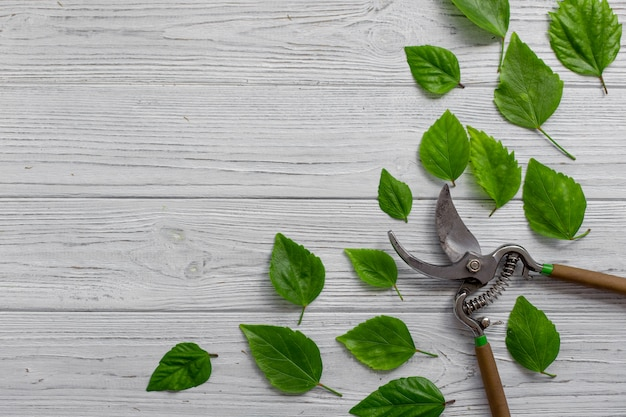 A garden secateurs and green leaves on a white rustic wooden background Premium Photo