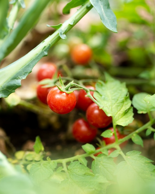 Garden tomatoes hidden in green leaves Free Photo
