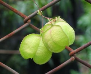 Garden vine on a chain link fence Free Photo