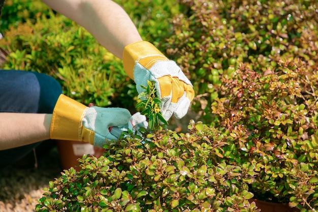 Giardiniere piante in crescita in vaso in serra. mani del giardiniere taglio rami con potatore closeup colpo. concetto di lavoro di giardinaggio Foto Gratuite