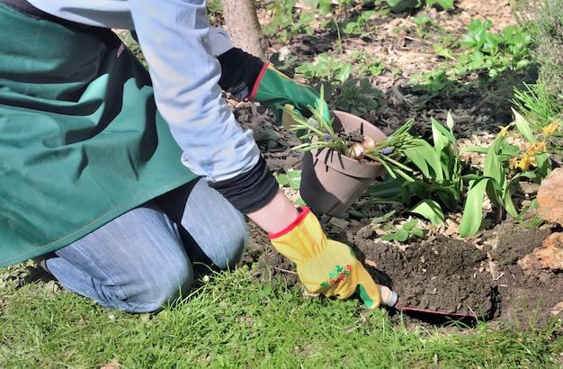 Gardener  hanging a shovel full of soil to planting bulbs flowers in a garden Premium Photo