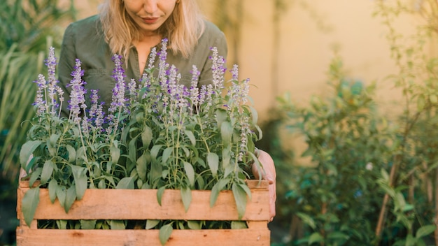 Gardener holding wooden crate with lavender pot plants Free Photo