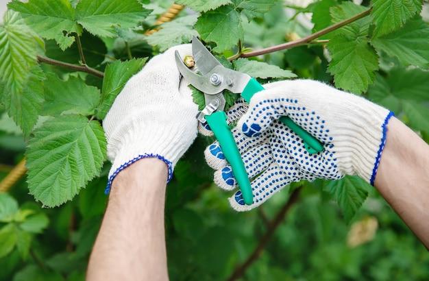 Gardener pruning shears bushes. garden. Premium Photo