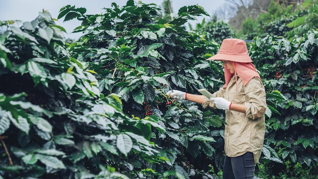Gardeners who hold a notebook and are studying coffee trees, coffee beans and harvesting. Premium Photo