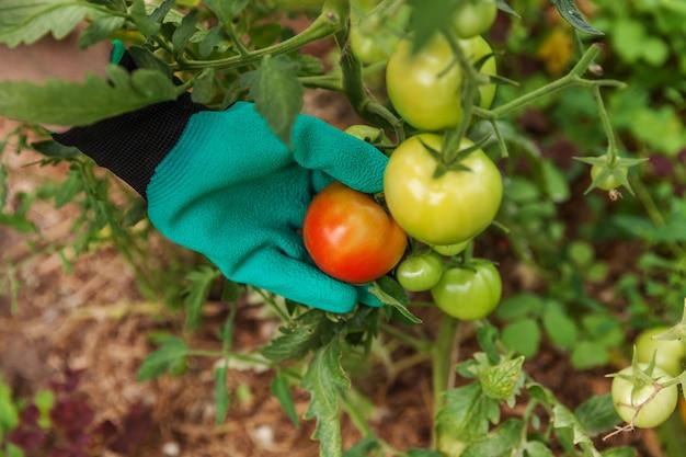 ガーデニングと農業のコンセプトです。女性の農場労働者は、新鮮な完熟有機トマトを選ぶ手袋をはめます。温室の生産物。野菜の食糧生産。温室で育つトマト。 Premium写真
