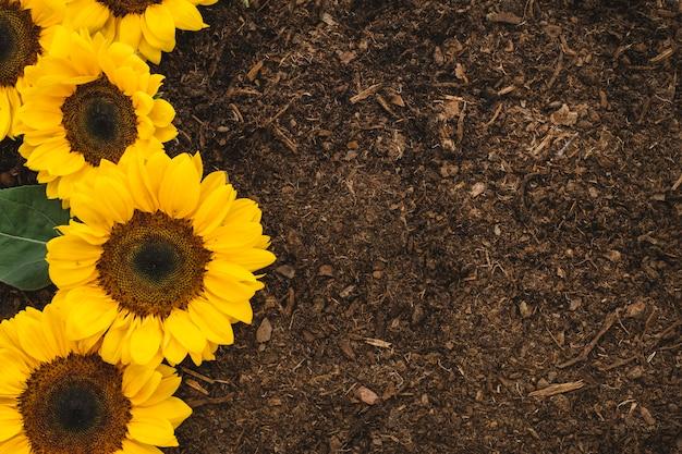 Садовая композиция с четырьмя подсолнухами и пространством Premium Фотографии