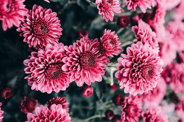 Gardens mums Premium Photo
