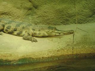 Gator, rocks Free Photo