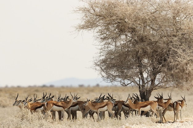サバンナの風景の中の乾燥した木の下で休んでいるガゼルの群れ 無料写真