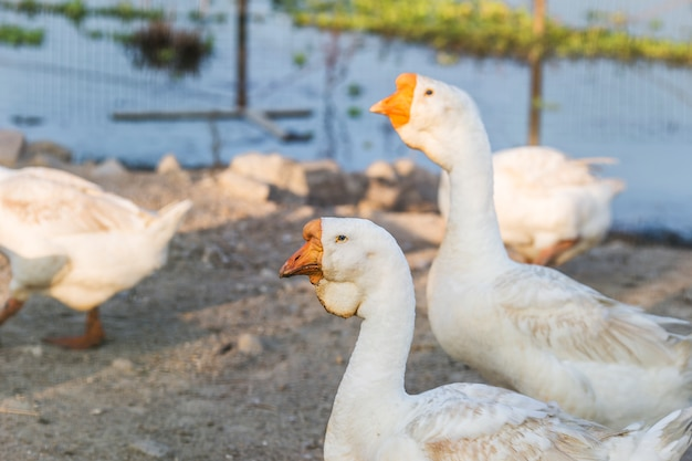 Geese, animals Free Photo