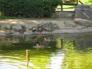 Geese  gooses Free Photo